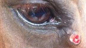 variga ögon häst