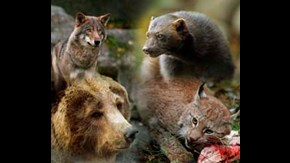 The four large mammalian predators in Sweden; wolf, wolverine, brown bear and lynx.