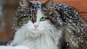 A cat with some snow in its fur.