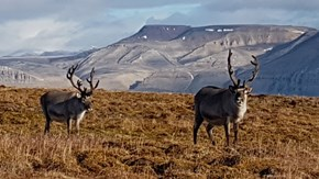 Reindeer are sensitive to changes in climate and environment.